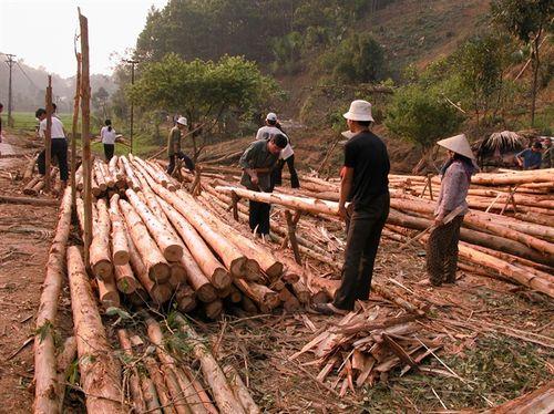 Khai thác gỗ rừng trồng ở Công ty TNHH Một thành viên Lâm nghiệp Thác Bà (huyện Yên Bình).