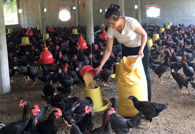 Một mô hình phát triển chăn nuôi gà hiệu quả của hội viên Hội Nông dân huyện Trấn Yên.