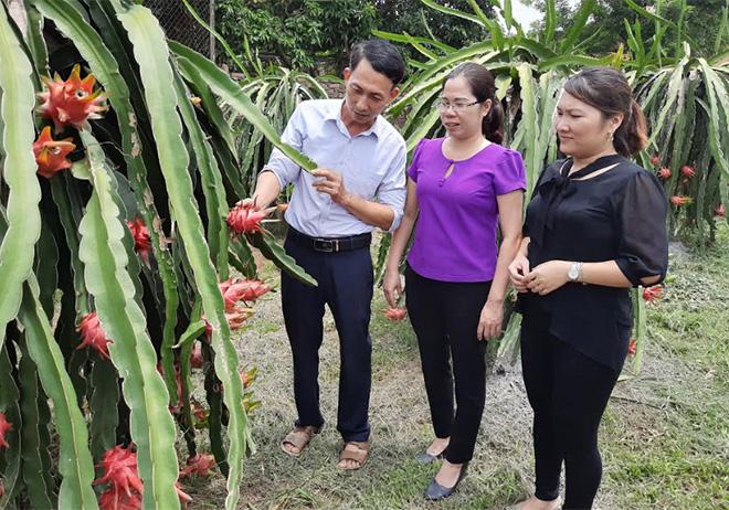 Mô hình trồng thanh long ruột đỏ của gia đình ông Nguyễn Ngọc Hồ cho thu nhập cao.