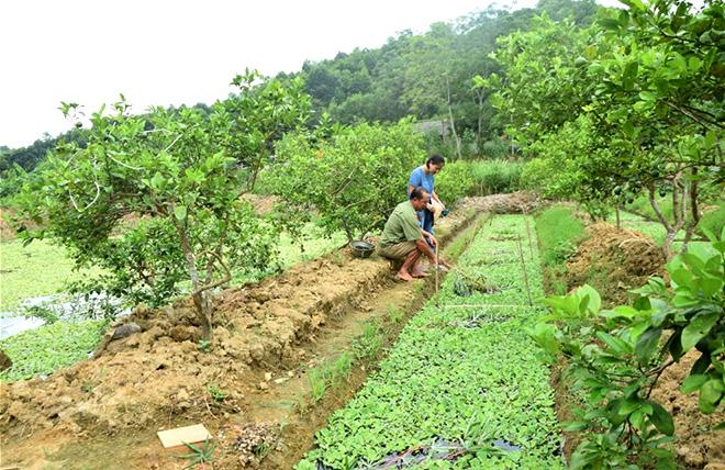Ông Phạm Thế Cầu mở rộng hệ thống rãnh thoát nước của diện tích trồng chanh tứ thời để nuôi ốc nhồi.