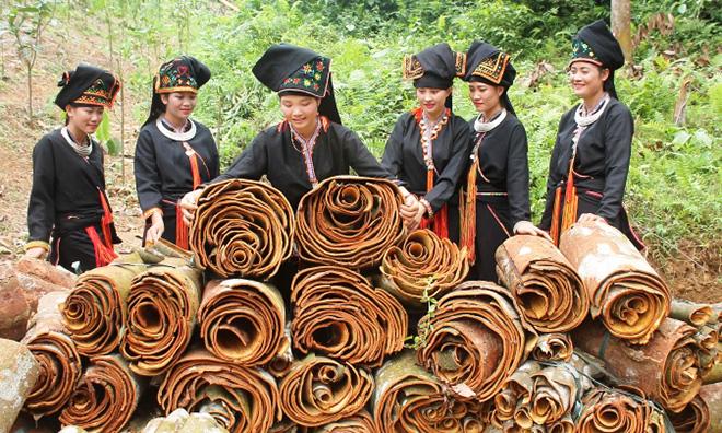 Van Yen farmers harvest cinnamon bark.