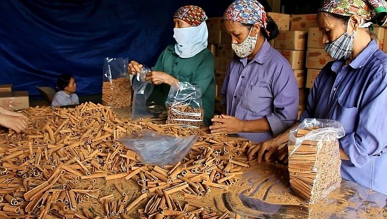 Sản phẩm quế Văn Yên xuất đi nhiều thị trường trong và ngoaig nước