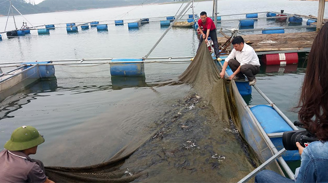 A fish cage farming model of Le Van Thu's family in Ma village, Vinh Kien commune of Yen Binh district