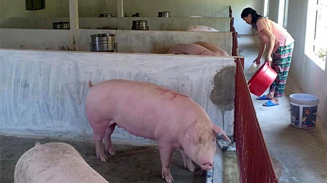 Hệ thống trang trại nuôi lợn của gia đình ông Vũ Đức Duệ được đầu tư quy mô lớn và hiện đại.