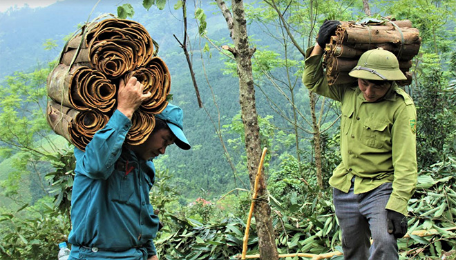 Farmers in Dao Thinh commune harvest cinnamon - raw material for OCOP products of Vietnam Cinnamon Cooperative.