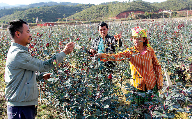 Hơn chục héc ta hoa hồng đã được trồng ở Nậm Khắt phục vụ du lịch, phát triển kinh tế.