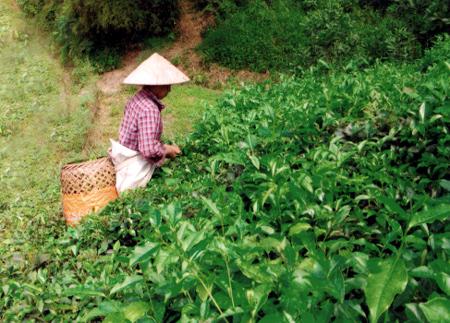 Nông dân thị trấn Nông trường Trần Phú thu hái chè.