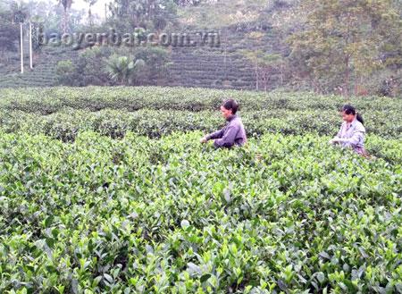 Nông dân Hán Đà thu hái chè.