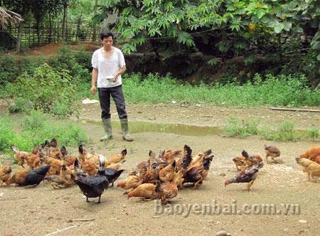 Anh Điền chăm sóc đàn gà.