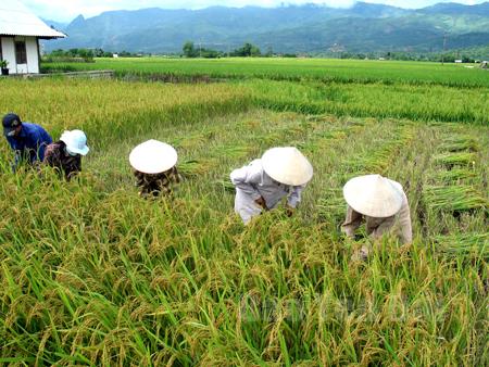 Nông dân huyện Văn Chấn thu hoạch lúa.