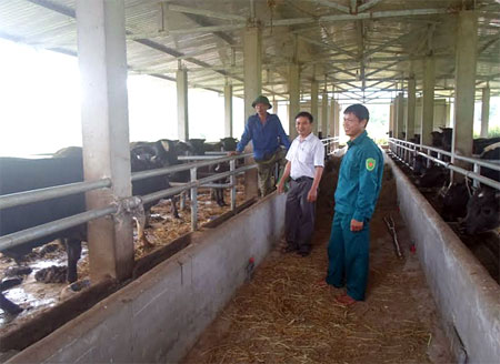 Khu chuồng nuôi 40 con bò lai F1 BBB của ông Hoàng Đình Huy, thôn Suối Quẻ, xã Phù Nham.