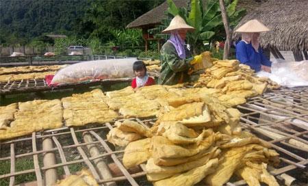 Nông dân xã Lâm Thượng, huyện Lục Yên phơi măng mai.
