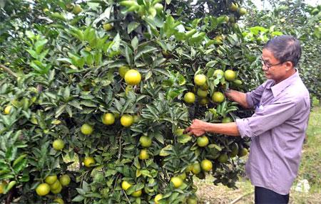 Nhiều hộ dân trên địa bàn xã Mai Sơn (Lục Yên) trồng cây ăn quả có múi mang lại hiệu quả kinh tế cao.