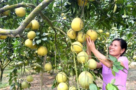 Sản phẩm bưởi Đại Minh đã được tiêu thụ rộng rãi trên thị trường. Ảnh: Nông dân xã Đại Minh chăm sóc bưởi.