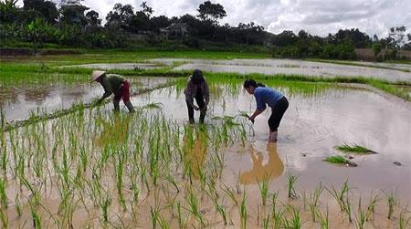 Nông dân xã Nga Quán, huyện Trấn Yên cấy dặm lúa mùa sau lũ.