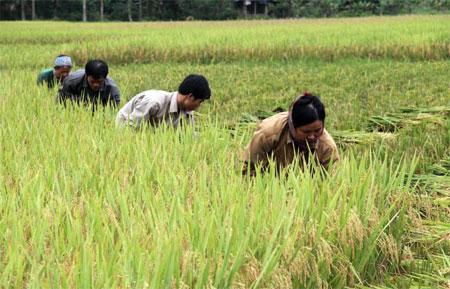 Sản xuất theo mô hình nông hộ, thủ công khó có thể mang lại hiệu quả kinh tế cao.