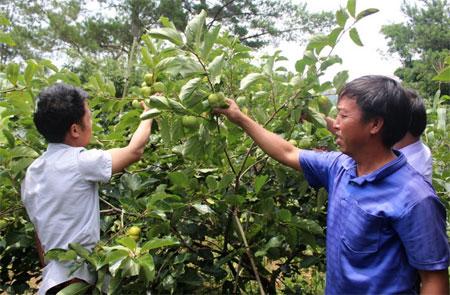 Giống hồng Nhật trồng ở huyện Mù Cang Chải cho quả to, giòn, ngọt, được khách hàng ưa chuộng.