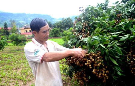 Người dân xã Sơn Thịnh chăm sóc nhãn.