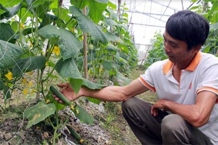 Anh Nguyễn Trọng Sơn chăm sóc vườn dưa chuột của gia đình.