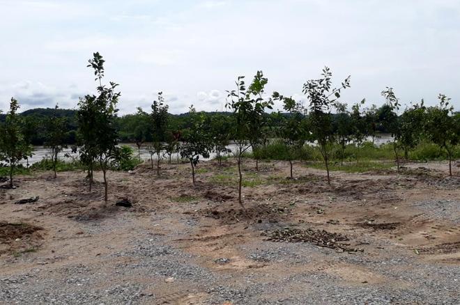 Trồng cây trên đất trong diện giải phóng mặt bằng để lấy tiền bồi thường ở xã Phúc Lộc, thành phố Yên Bái.