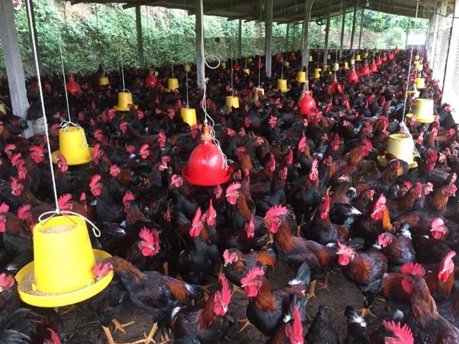 Khu chăn nuôi gà tập trung của HTX Chăn nuôi và Dịch vụ nông nghiệp Minh Quán.