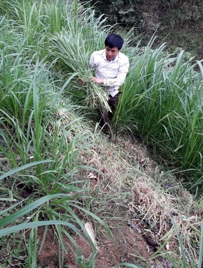Anh Vàng A Rua tận dụng diện tích đất trống để trồng cỏ chăn nuôi gia súc.
