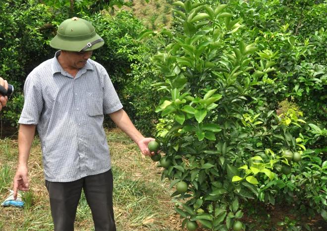 Anh Ngô Thành Đông kiểm tra sự phát triển của cây chanh tứ thời.
