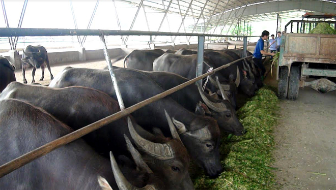 Đề án phát triển chăn nuôi chăn nuôi trâu, bò quy mô 10 con trở lên/1 cơ sở đang được chú trọng quan tâm.