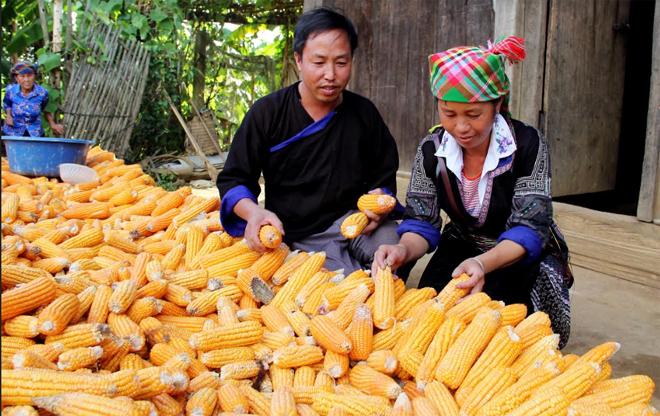 Nhờ chuyển đổi cơ cấu cây trồng, vật nuôi, gia đình anh Thào A Phổng đã có thu nhập trên 200 triệu đồng/năm.