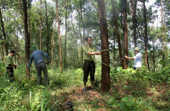 Cán bộ kiểm lâm huyện Yên Bình khảo sát năng suất, sản lượng gỗ rừng trồng trên địa bàn.