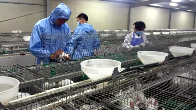 Công nhân Công ty Nippon Zuki (Thượng Bằng La, Văn Chấn) chăm sóc thỏ sinh sản.