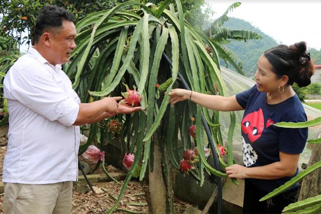 Chị Nông Thị Hoàn, xã Cảm Nhân trồng thử nghiệm thanh long ruột tím hồng để góp phần đa dạng sản phẩm thanh long tại địa phương.