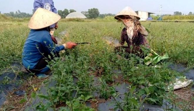 Người dân thôn Thác Cái, xã Đông Cuông, huyện Văn Yên trồng và chăm sóc cây cà gai leo.
