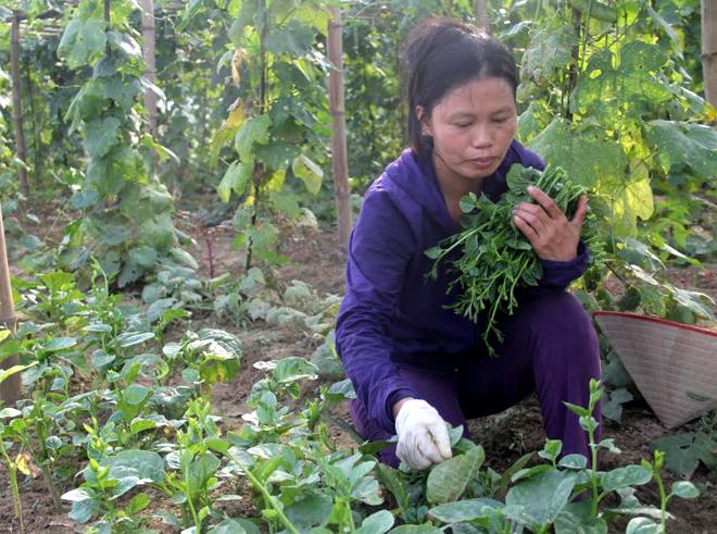 Trồng rau an toàn theo quy chuẩn VietGap mang lại thu nhập ổn định cho nhiều hộ dân ở Văn Phú.