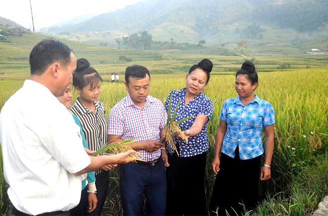 Nông dân xã Hát Lừu, huyện Trạm Tấu sản xuất lúa hàng hóa.