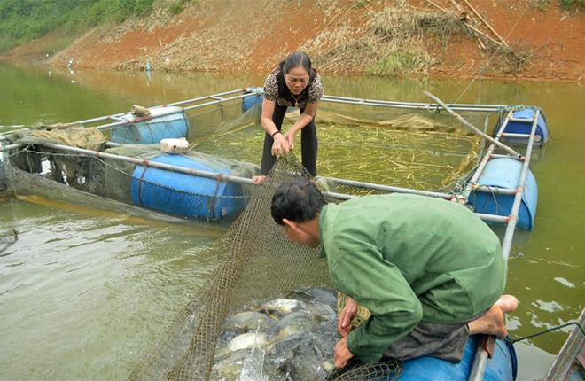 Định kỳ hàng tháng, bà Nguyễn Thị Hồng Thanh kiểm tra trọng lượng cá để điều chỉnh kỹ thuật nuôi hiệu quả.