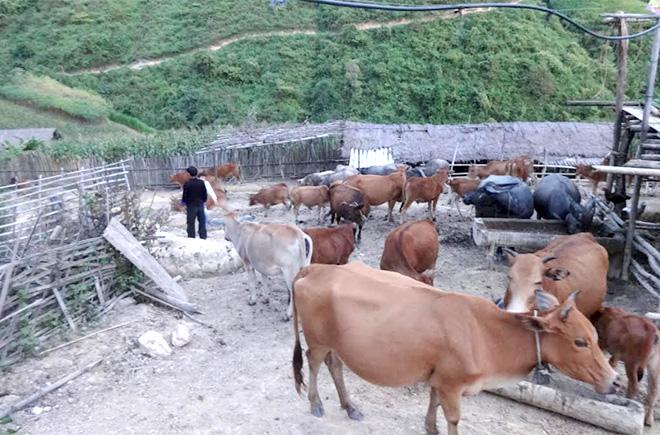 Mô hình chăn nuôi trâu, bò hiệu quả của gia đình anh Giàng A Tủa, bản Trống Là, xã Hồ Bốn, huyện Mù Cang Chải.