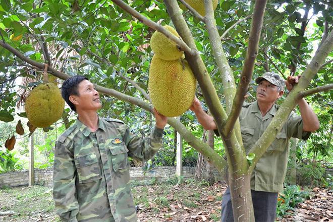 Ông Luyện (bên trái) trao đổi kinh nghiệm trồng mít Thái với hội viên cựu chiến binh trong chi hội.