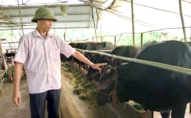 Ông Lợi làm giàu từ chăn nuôi bò 3B.