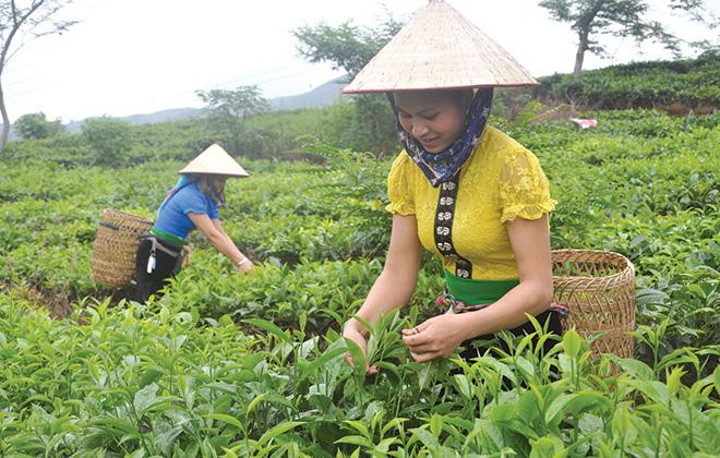 Chè Shan tuyết được phát triển mạnh mẽ ở xã Nậm Búng và Gia Hội, huyện Văn Chấn. (Ảnh: T.L)