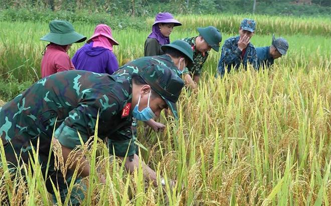 Cán bộ, chiến sĩ Ban Chỉ huy Quân sự huyện Văn Yên giúp đồng bào Mông xã Nà Hẩu thu hoạch lúa xuân.