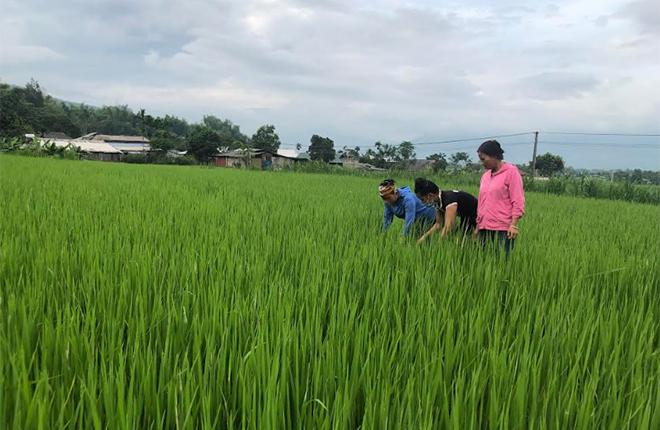 Người dân xã Phúc Sơn trao đổi kỹ thuật sản xuất lúa hữu cơ.