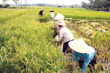 Nông dân Mường Lò thu hoạch lúa.
