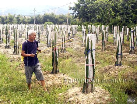 Vườn thanh long ruột tím mới được đầu tư của gia đình ông Lập, hiện đang phát triển tốt.
