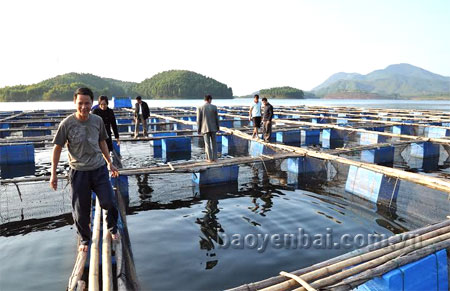 Nuôi cá quây lưới trên hồ Thác Bà mang lại hiệu quả kinh tế cao.