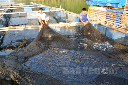 Nuôi cá lồng trên hồ Thác Bà của người dân thị trấn Thác Bà mang lại hiệu quả kinh tế cao.