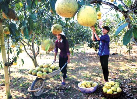 Do được đào tạo kỹ thuật cơ bản, nông dân nhiều xã trồng cây ăn quả có múi ở huyện Yên Bình đã có cơ hội làm giàu. (Ảnh: Thanh Miền)