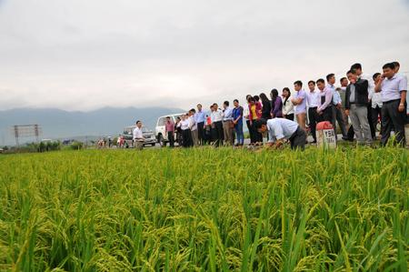 Người dân xã Thanh Lương huyện Văn Chấn đến dự hội nghị đầu bờ trên cánh đồng một giống.