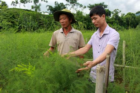 Mô hình trồng măng tây xanh của hộ gia đình ông Nguyễn Văn Bình, thôn Minh Đồng, xã Đồng Khê.