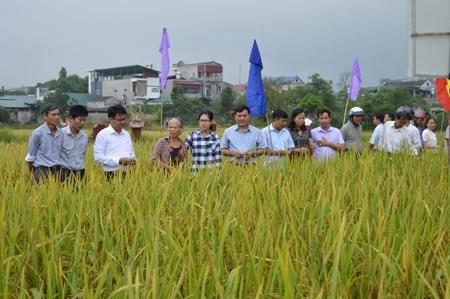 Các đại biểu cùng nông dân tham quan mô hình sản xuất lúa thuần Nam Hương 4.